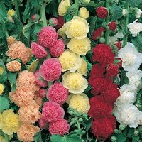Alcea Chaters Double 20 pack