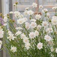 Scabiosa Kudo White 6 plug plants