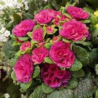 Scented hardy Primula Belarina Carmen 3 jumbo plugs