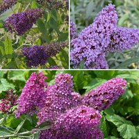 Buddleia Buzz Set of 3 plug plants