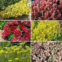 Sedum Carpet Collection 12 plug plants