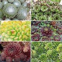 Sempervivum Collection Set of 12 plug plants