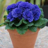 Scented Hardy Primula Prima Belarina (R) Blue Champion 3