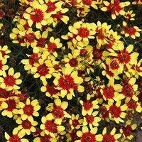 Coreopsis verticillata Firefly 3 x garden ready