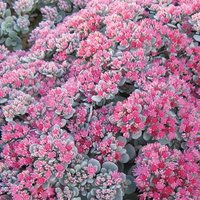 Sedum x cauticolum Robustum x 6 garden ready