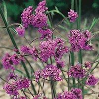 Verbena bonariensis x 6 plug plants
