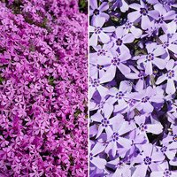 Phlox subulata Collection Offer x 12 plugs