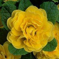 Primula Belarina Buttercup x 3 plug plants