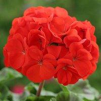 Geranium Cabaret Red 40 plug plants
