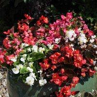 Begonia semp. Challenger Mix 40 plug plants