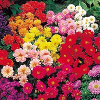 Dahlia Diabolo Mix 40 plug plants