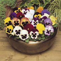 Pansy Matrix Mixed