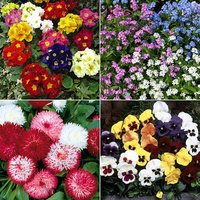 80 Plug Plant Autumn Bedding Bundle - 20 each Pansy, Primrose, Bellis & Myosotis