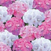 Geranium Candyfloss mix 40 plug plants