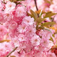 "Flowering Cherry tree Prunus ""Kanzan"" bare root 1M"