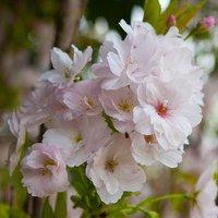 """Flowering Cherry tree """"Amanogawa"""" Bare Root 1-1.2M"""