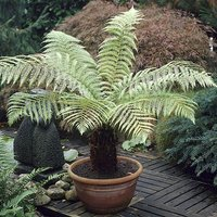 Tree Fern (Dicksonia antarctica) 0.5ft/20cm Potter