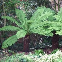 Tree Fern (Dicksonia antarctica) log - 3 foot