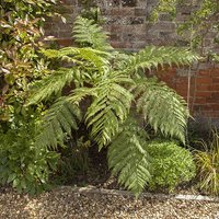 Tree Fern Dicksonia antarctica log 20cm tall