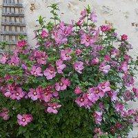 Hibiscus Woodbridge 2L