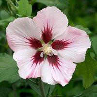 Hibiscus Hamabo 2L