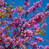 Cercis siliquastrum (Judas tree)) br 45/60
