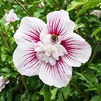 Hibiscus syriacus Starburst Chiffon br