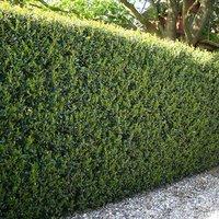 Ilex crenata 'Green Hedge' 9cm pot