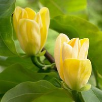 Pair of Magnolia