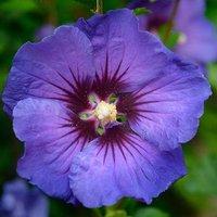 Hibiscus syriacus Ultramarine br