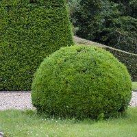 Taxus baccata (Yew) topiary ball 30cm diameter