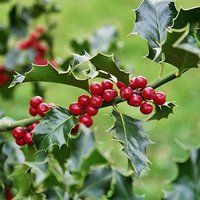 Ilex (Holly) 20-25cm