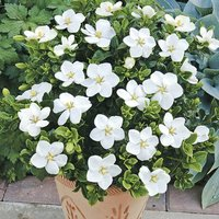 """Gardenia """"Kleim"""