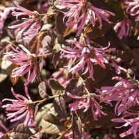 Loropetalum Firedance (Chinese Witch Hazel) plants - set of 3 in 9cm pots