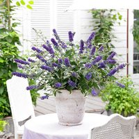 Dwarf Patio Buddleia