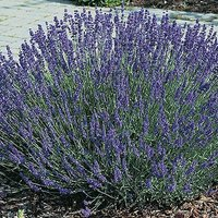 English Lavender Hidcote hedging Pack - 12 plugs