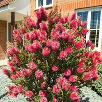 Bottlebrush Plant Callistemon citrinus 2.5L pot