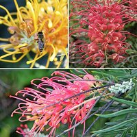 Grevillea Collection - 3 Plants in 9cm Pots