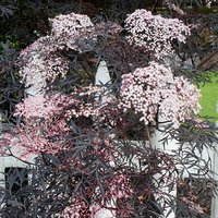 "Sambucus nigra ""Black Lace"" (Black Elderberry) 9cm"