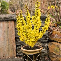 Set of 3 Winter Flowering Patio Forsythia plants in 9cm pots