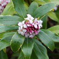 Daphne odora Aureomarginata plant 30cm tall in bud