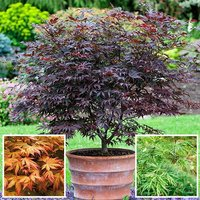 Japanese Maple (Acer) Plant Collection - 3 varieites in 10.5cm pots