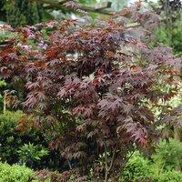 Acer palmatum 'Atropurpureum' (Red Maple) 10.5cm pot