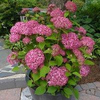 """Tree Hydrangea """"Invincibelle"""" plant in 14cm pot"""