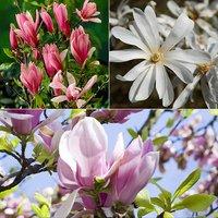 Set of 3 Magnolia trees in 3L pots