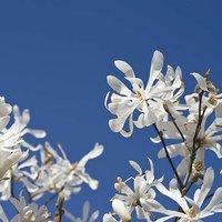 Magnolia stellata 3L pot
