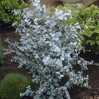 Pair of Eucalyptus gunnii