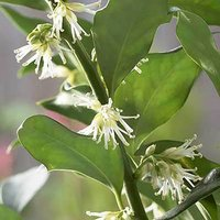 Sarcococca confusa (Sweet Box) plant in 1L pot 20-25cm tall