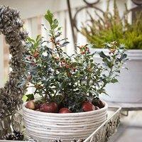 Ilex 'Blue Angel' Holly Bush in a 2L Decorative Pot