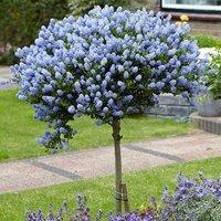 Ceanothus (Californian LIlac) Standards Hardy Trees 90-100cm - Pair